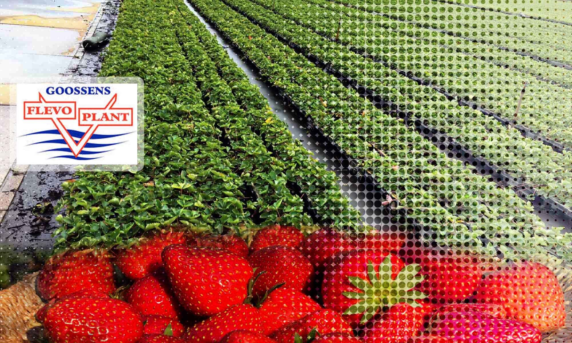 Sprzedaż i produkcja sadzonek truskawek Flevoplant - Duraczewo, woj. lubuskie